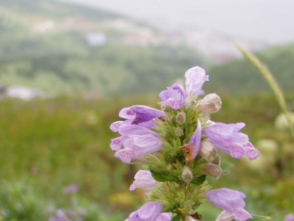 Insel Rebun / Hokkaido: Paradies für Botaniker