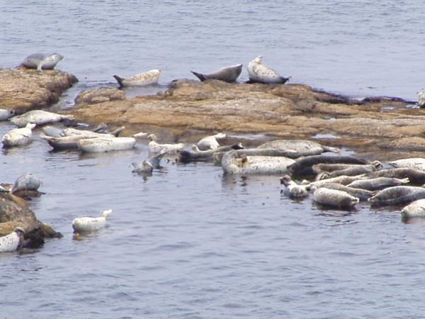 Insel Rebun / Hokkaido: Träges, lautes Gesindel: Seehunde an der Todo-Jima
