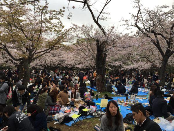 Kirschblütenschau (Hanami) im Yoyogi-Park: Der blanke Wahnsinn