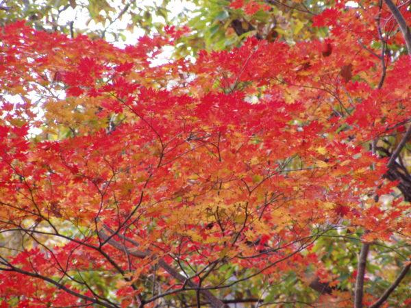 Herbstlaub auf dem Affenberg am Kinugawa
