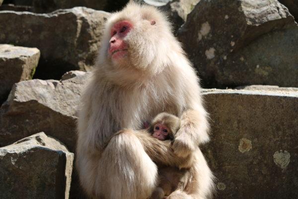 Affenmutter mit Nachwuchs
