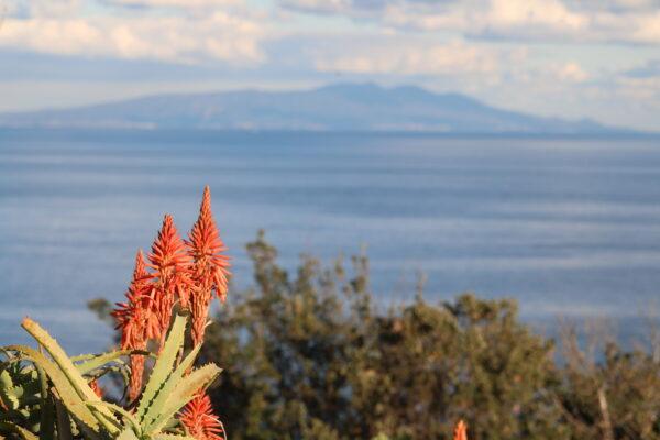 Aloe Vera-Blüte mit der Insel Ōshima im Hintergrund