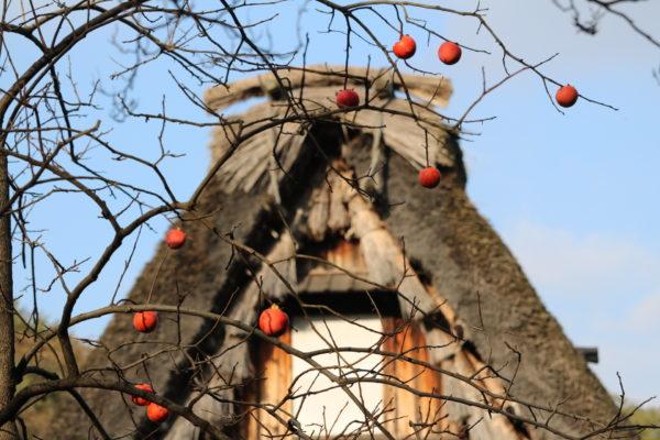 Typisch für den japanischen Herbst: Reife Kaki