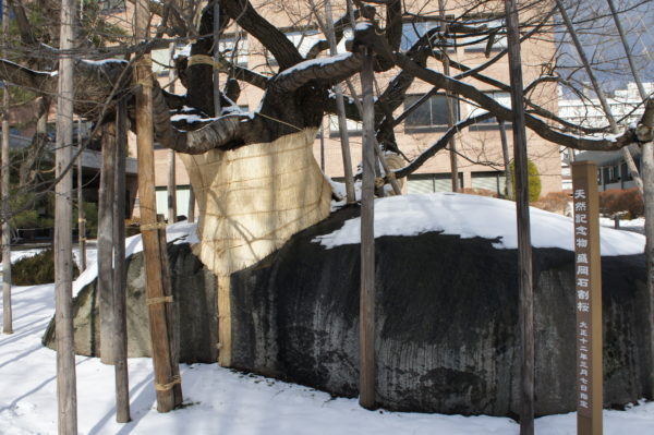 Stolz der Stadt: Der steinspaltende Kirschbaum