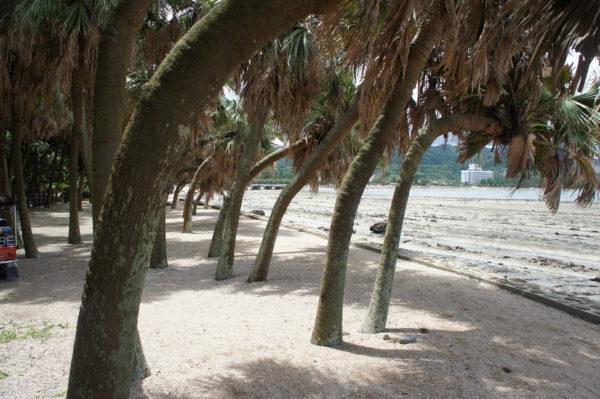 Beinahe tropisch: Palmen am Strand