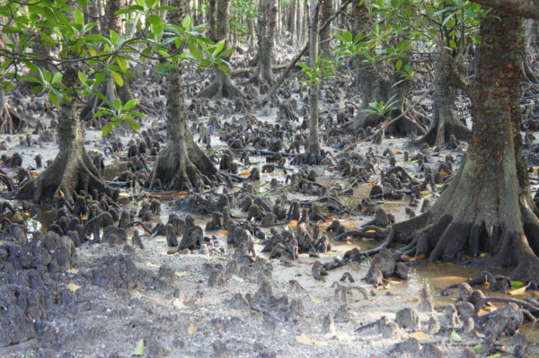 In den Mangroven von Ishigaki