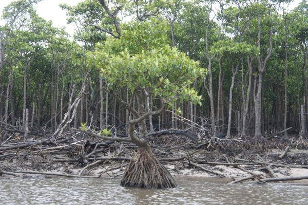 Die Mangroven am Nakama-Fluss