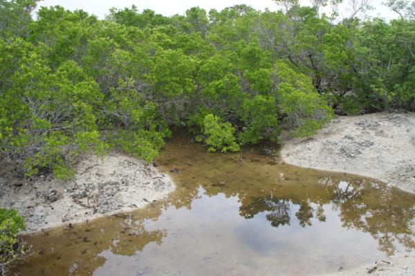 Mangroven auf Yubu-jima