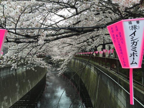 Die Kirsche (sakura) zur vollen Blüte