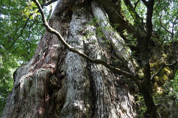 Die Kigen-sugi - eine rund 2'000 Jahre alte Sicheltanne