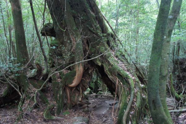 Urwald auf Yakushima
