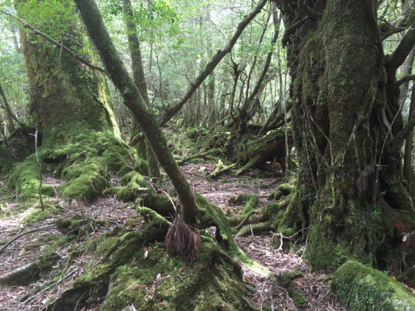Im Wald von Shiratani-Unsuikyo auf der Insel Yakushima