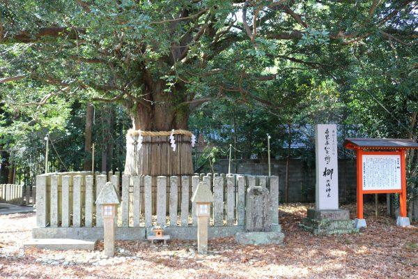 Der heilige Nagi-Baum im Kumano-Hayatama-Schrein