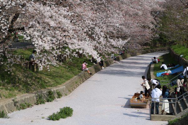 Die Kirschblüten am Fluss in Kawagoe sind auch nicht zu verachten