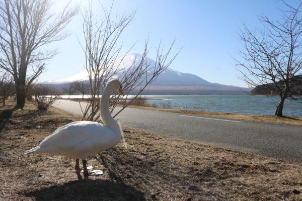 Markenzeichen des Yamanaka-ko: Weiße Schwäne