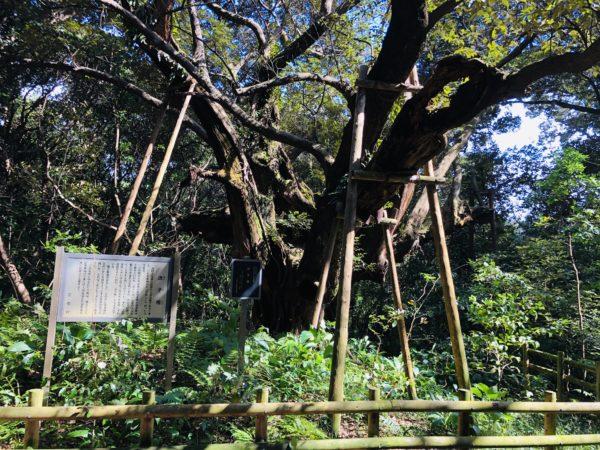 Die gewaltige Scheinkastanie - ein heiliger Baum auf der Insel