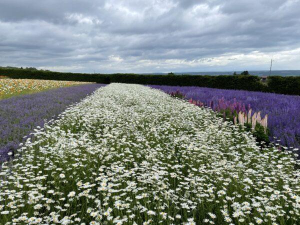 Die Tomita-Farm ist bekannt für seine Lavendel- und Blumenfelder