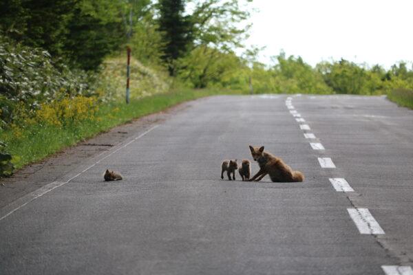 Fuchsfamilie, die auf dumme Autofahrer wartet