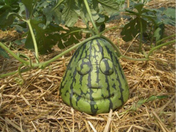 """Gibt es wahrscheinlich nur in Japan: """"Kopfmelonen"""""""